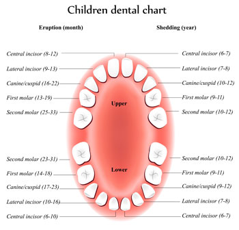 Tooth Eruption Chart - Pediatric Dentist in Springfield, MO